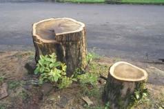 Denúncia de Corte de Árvore